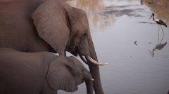 Two African Elephants, adult and baby, drinking water from river Stock Footage