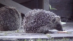 Lunch in the open vozduhe. A pair of hedgehogs, frolics. Stock Footage