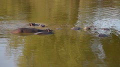 Group of Hippos into the water. Wildlife Safari in Africa. Stock Footage