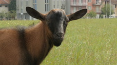 Kid goat looking into the camera close up by Pakito. Stock Footage