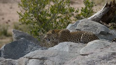 Big Leopard in attacking position. Kruger National Park, South Africa Stock Footage