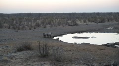 Rare Black Rhinos drinking from waterhole at sunset Stock Footage