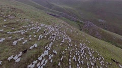 Aerial: flock of sheep grazing in mountains of Caucasus, Georgia. Stock Footage