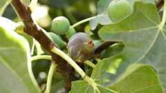 Ripe fig in a fig tree Stock Footage