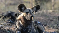 Close up and portrait of a cute Wild Dog. Wildlife Safari in Africa. Stock Footage