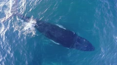 Aerial footage of a family of whales breaching the water to breathe. Stock Footage