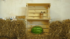 Ripe watermelon lying in a wooden box in the middle of the loft Stock Footage