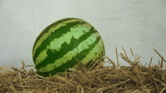 Green ripe watermelon lie on hay, straw against a white wall, close-up Stock Footage