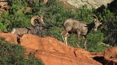 Zion National Park, Sheep, CURLED HORNS Stock Footage