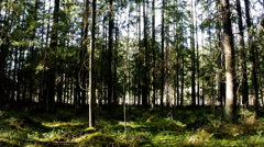 Spruce forest and road, which runs behind his facade Stock Footage