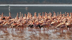 Flamingos marching in unison at lake bogoria, kenya Stock Footage