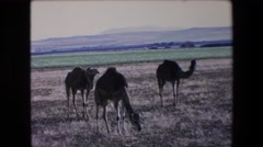 1971: eight camels grazing in a field surrounded by mountains ALGERIA Stock Footage
