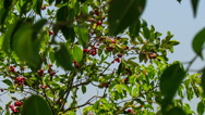 Wind Shakes Branches of Cashew Tree Stock Footage