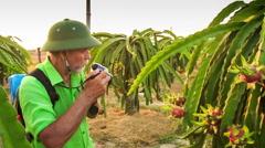 Closeup Tourist Photos Dragon Fruit on Tree Branch at Sunset Stock Footage
