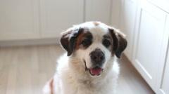Saint Bernard dog in ktichen, video Stock Footage