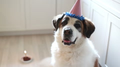 Saint Bernard dog doesn't want to celebrate birthday, video Stock Footage