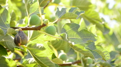 Ripe fig hanging at branch of tree Stock Footage