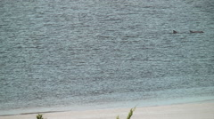 Dolphins swimming close to shore Stock Footage