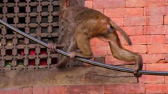 Monkey climbing at the wall. Kathmandu, Nepal Stock Footage