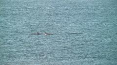 Panning pod dolphins splash tails Stock Footage