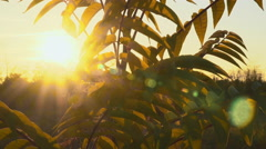 Yellow leaves on a branch of a bush at sunset illuminated sun Stock Footage