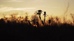 Dry flower in the field at sunset Stock Footage