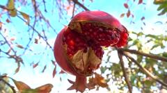 Open overripe pomegranate on tree Stock Footage