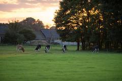 Dutch landscape with grazing cattle at sunset. Geesteren. Achterhoek. Gelderl Stock Photos