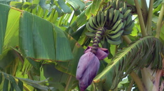 A flower of banana tree Stock Footage