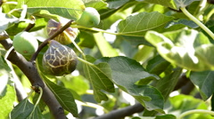 Ripe fig hanging at branch of a fig tree in a plantation Stock Footage