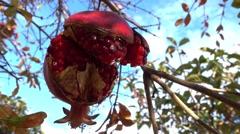 Overripe rotting pomegranate on tree Stock Footage
