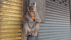 Wild monkey eating carrot Lopburi Thailand Stock Footage