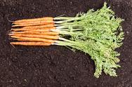 Bunch of freshly picked homegrown carrots Stock Photos