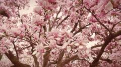 Blooming magnolia tree Stock Footage