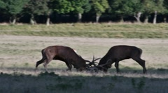 Two red deer stags fighting in grassland during the rut in autumn Stock Footage