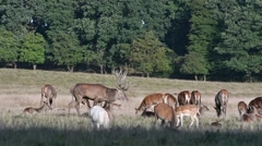 Red deer stag keeping large herd with hinds together during the rut in autumn Stock Footage