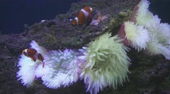 Clownfish shelters and anemone Stock Footage