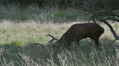 Red deer stag urinating on itself and rubbing antlers in grass during rut Stock Footage