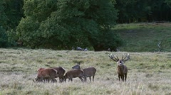Red deer stag chasing hinds in herd and calling in field during rut in autumn Stock Footage