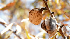 Almond in branch of a almond tree Stock Footage