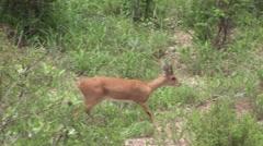 Wild Antelope in African Botswana Stock Footage