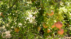 Pomegranate fruit hanging in tree Stock Footage