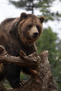 Grizzly Bear Looking Kuvituskuvat