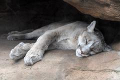 Mountain Lion Resting Kuvituskuvat
