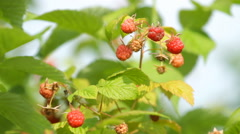 Branch of a red raspberry in sunny day Stock Footage