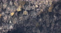 4k Close up bats hanging at wall in bat cave of temple Goa Lawah Bali 4k or 4k+ Resolution