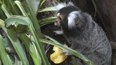 Little marmoset eats peach Stock Footage