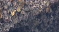 4k Bats hanging at wall in bat cave zoom out of temple Goa Lawah Bali 4k or 4k+ Resolution
