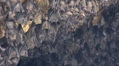 4k Bats hanging at wall in bat cave zoom out of temple Goa Lawah Bali Stock Footage
