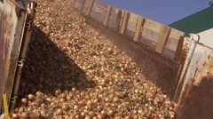 Onion transportation conveyor - food vegetables storage processing Stock Footage